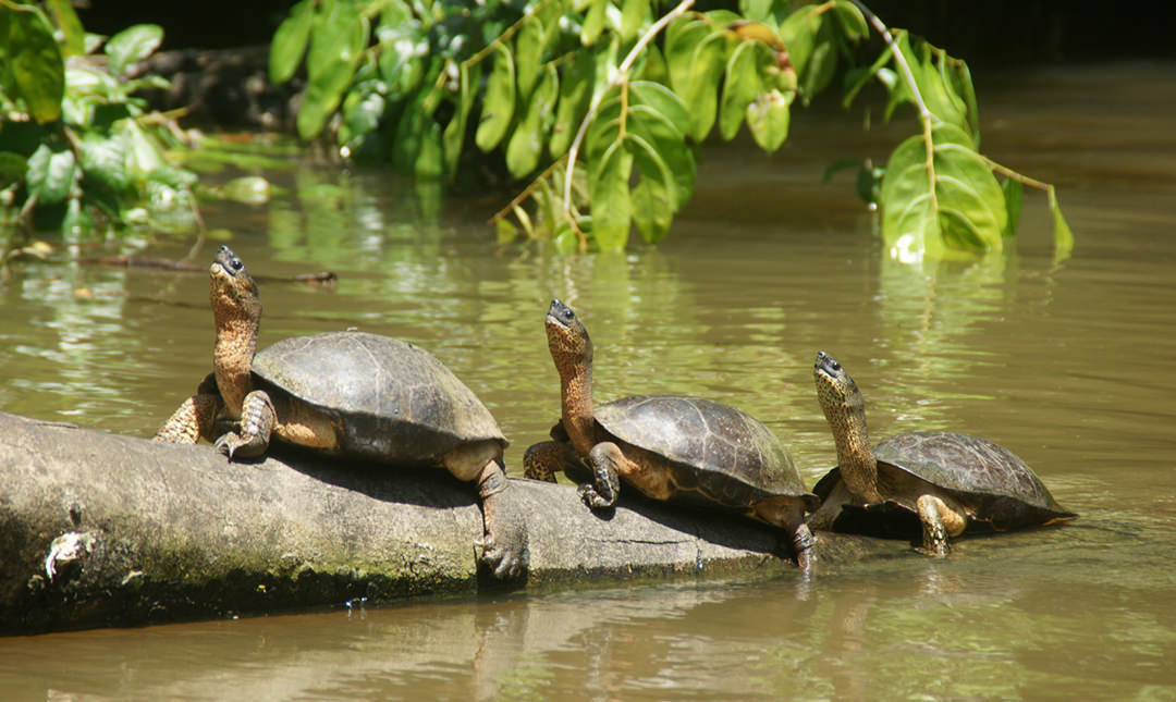 River Turtles - Vive Travels